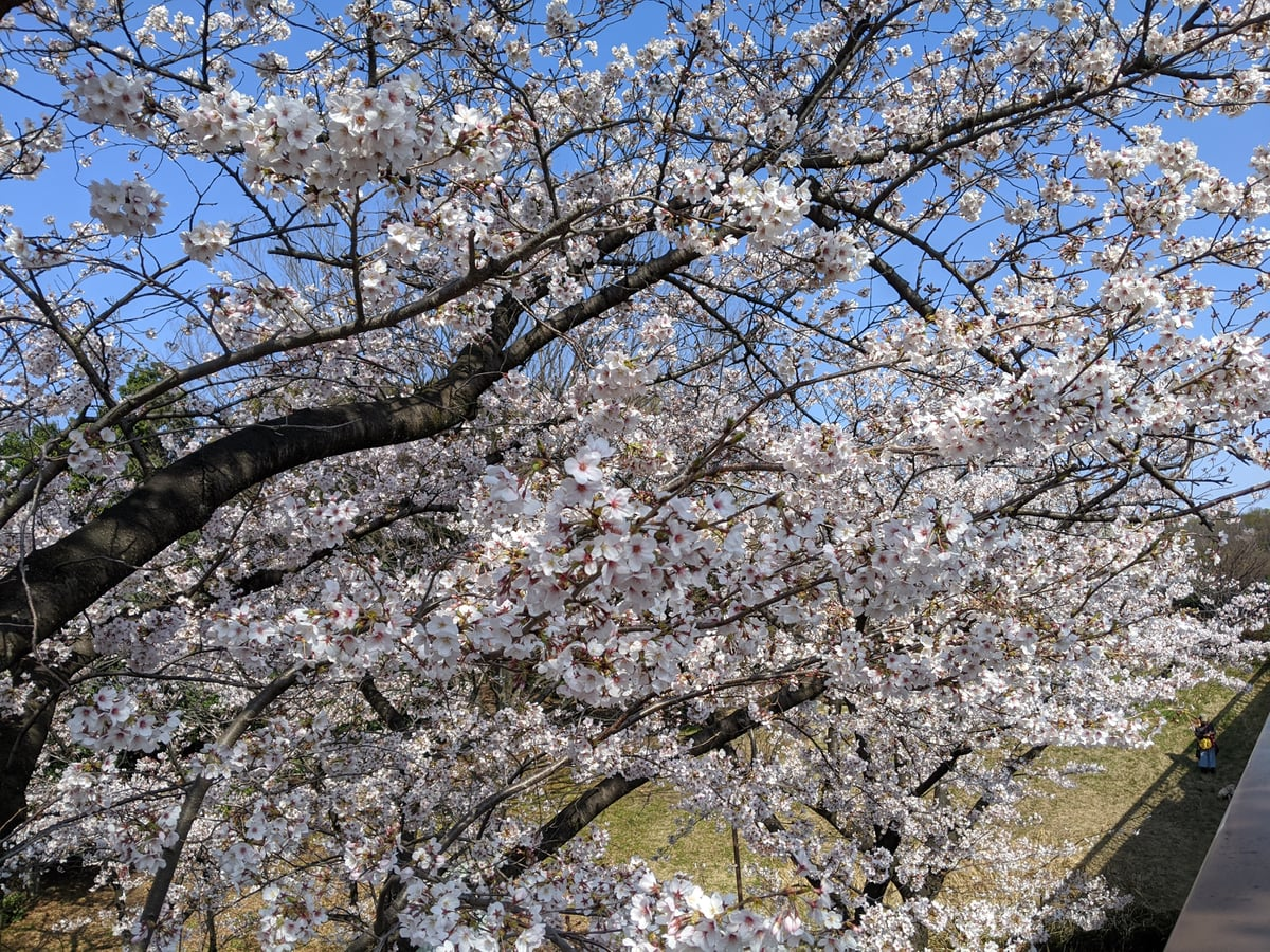 5枚目の桜の画像